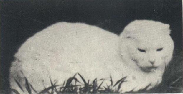 О породе шотландских кошек