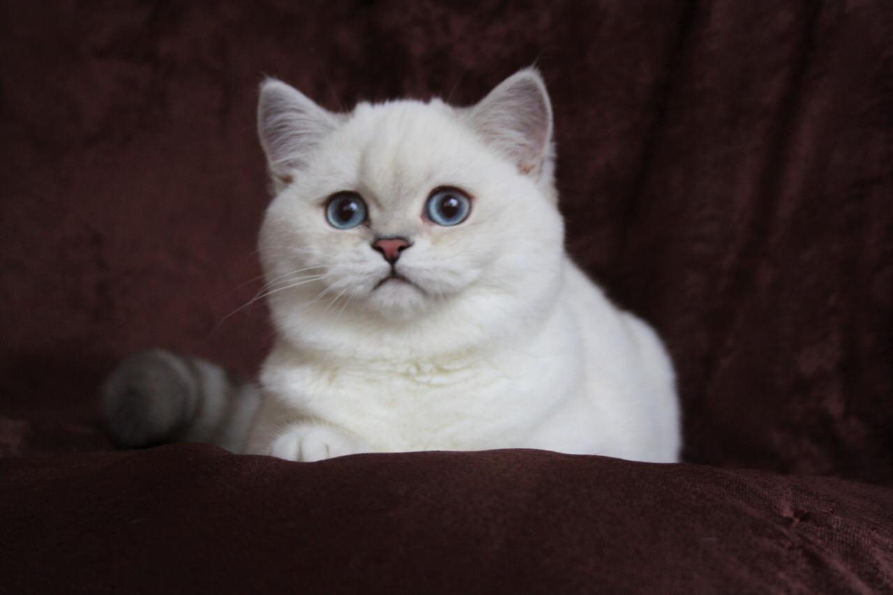 Фотогалерея шотландских кошек