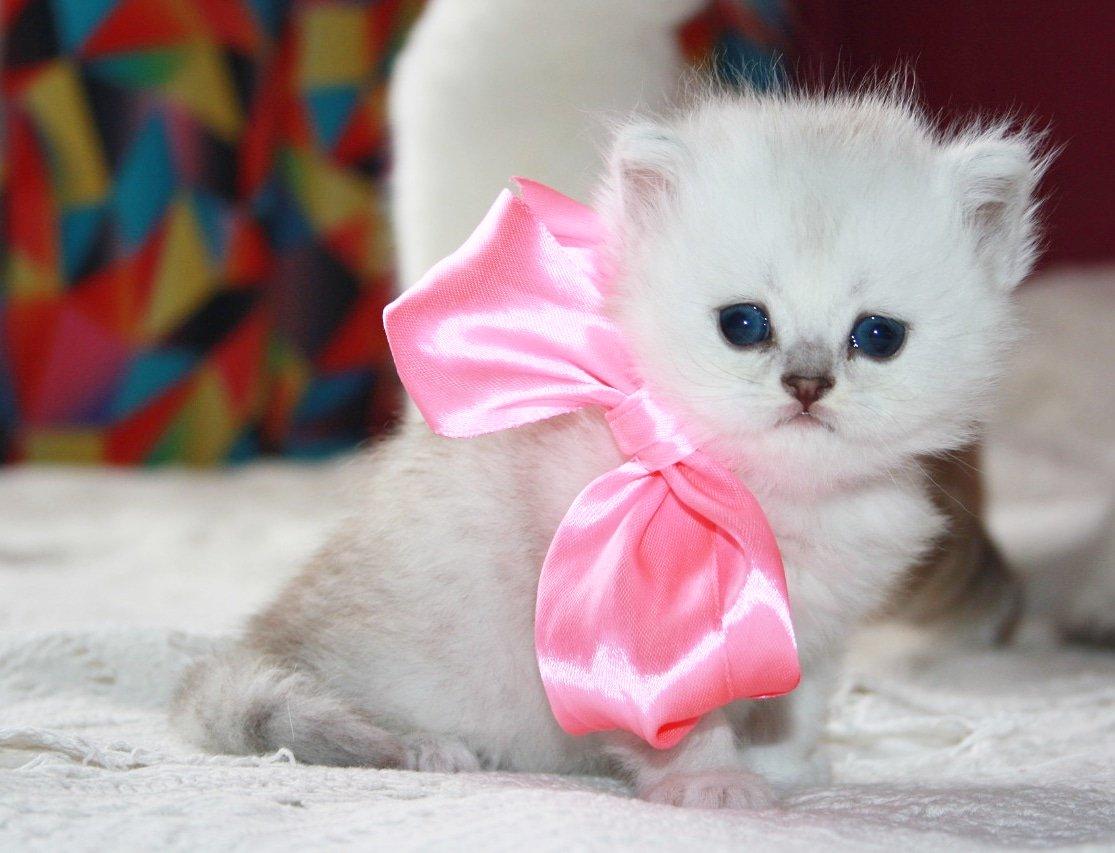 Шотландский вислоухий кошка