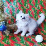 Шотландский прямоухий котенок