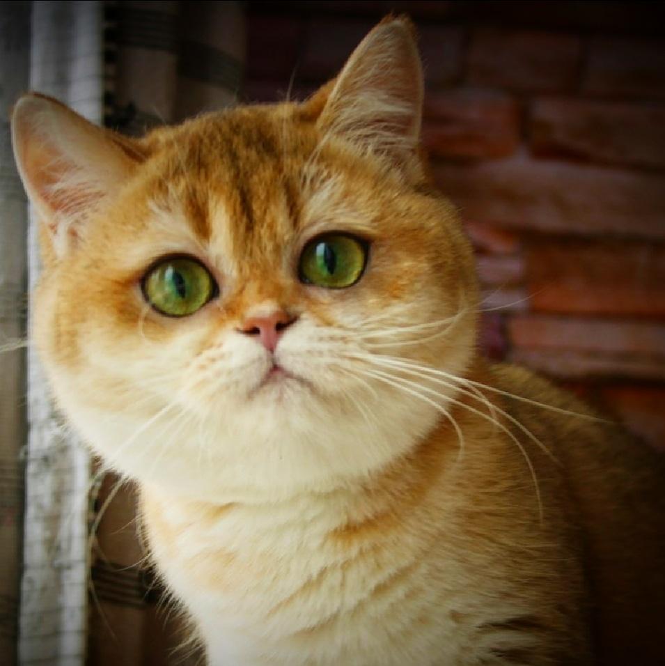 Quince Kittystar
